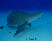 LeRoy French's underwater photograph of sharks of Tiger Beach